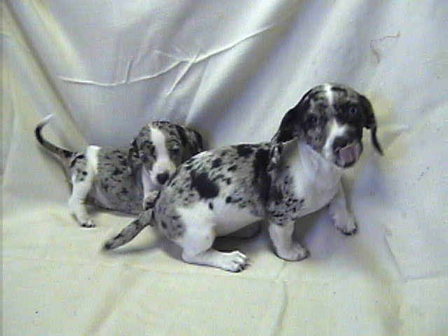 Miniature Dapple & Double-dapple Dachshunds