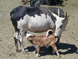 Miniature Cattle, cows, bulls, and calves.  Breeds include zebu, dairy, and watusi among others.  Hatch Farms